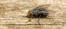 Preferred Pest Control in Savannah GA - A macro photo of a Blue-bottle Blow fly