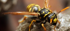 Savannah GA Pest Control - Yellow Jacket Wasp