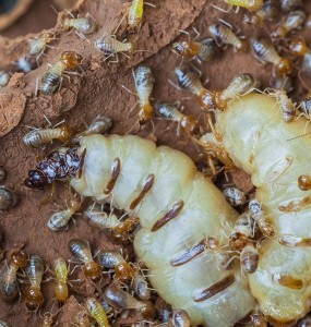 Termite Control, Termite Treatment, Termite Prevention