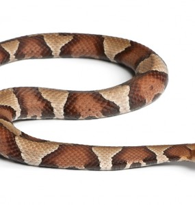 Savannah GA Pest Removal Services - Copperhead snake
