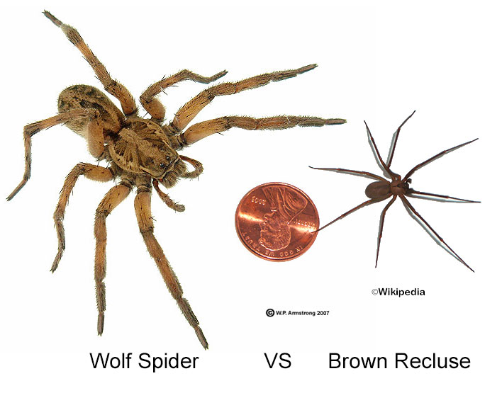 The Brown Recluse Rampant Home Invader Or Oft Mistaken