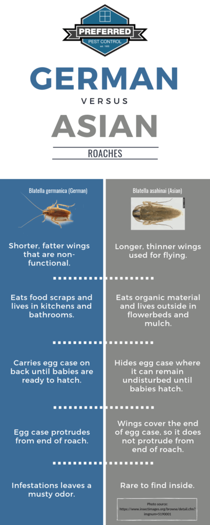 Infographic showing a bullet list of differences between German and Asian roaches.